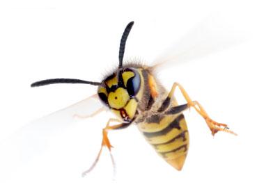 En hidsig hveps